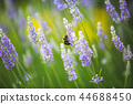Lavender field with green and violet colors 44688450