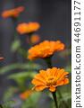 꽃, 플라워, 백일초 44691177