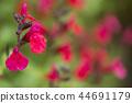세이지, 꽃, 플라워 44691179
