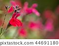 세이지, 꽃, 플라워 44691180