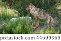 Iberian wolf in the bush looking to the left of the frame 44699369