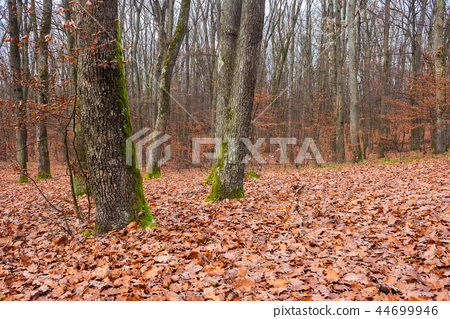 naked trees with moss on trunks in empty forest 44699946