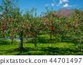 iwaki mountain, apple, autumnal 44701497
