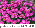Aster, herbstastern. Bees on small violet flowers 44705496