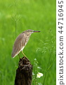 Paddy Heron in a Rice Field 44716945
