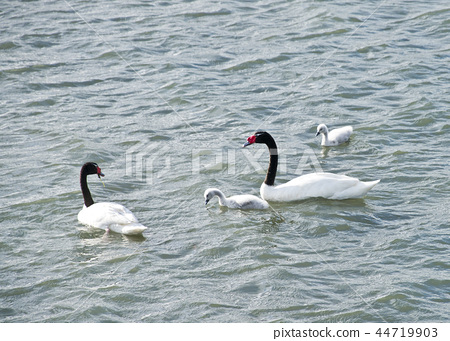 Black-necked Swan in Puerto Natales, Chile 44719903
