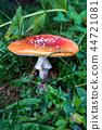 The toxic mushroom Amanita muscaria 44721081