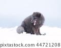 arctic fox winter 44721208