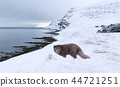 arctic fox snow 44721251