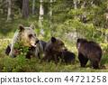 brown, bear, cubs 44721258