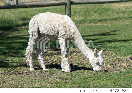 baby llama 44729986