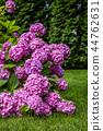 Gardening, lowering hydrangea in the garden. 44762631