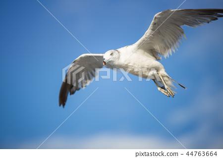 하늘을 날고있는 갈매기 44763664