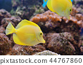 Zebrasoma fish in aquarium 44767860