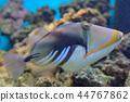 Lagoon triggerfish Coral reef 44767862