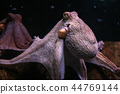 Purple common octopus (Octopus vulgaris) 44769144