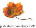 closeup of autumnal maple leaf on white background 44777591