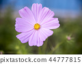 Pink space flower (Cosmos Bipinnatus) with blurred background 44777815