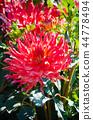 Dahlia Decorative Saki 44778494