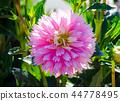 Dahlia Decorative Saki 44778495