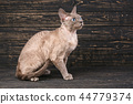 Portrait of a brown brown cat on a dark wooden background. 44779374