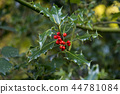 Holly Berries in Autumn - Savernake Forest 44781084