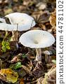 Pleurotus Ostreatus - The Oyster Mushroom 44781102