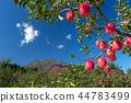 【아오모리 현 히로사키시 사과】 이와키 산 기슭 쓰가루 가을, 사과 농장은 수확 중 44783499