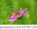 만개 한 코스모스와 나비 44787139