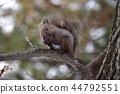 吃在樹的灰鼠核桃 44792551