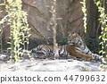 Indochinese tiger (Panthera tigris corbetti). 44799632