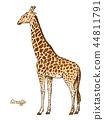 African giraffe Wild animal on white background. Engraved hand drawn line art Vintage old monochrome 44811791