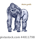 Western or mountain gorilla. big monkey or primate. Hand drawn, engraved wild animal in vintage or 44811798