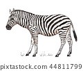 African Zebra Wild animal on white background. striped black white horse. Engraved hand drawn 44811799