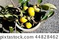 persimmon, fruit, deciduous 44828462