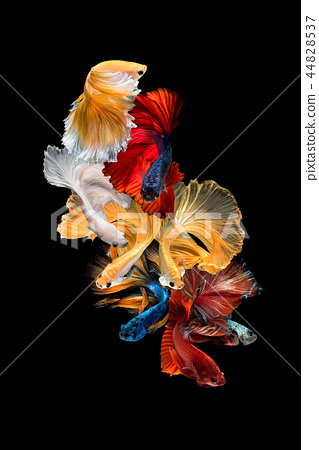 Close up art movement of Betta fish 44828537