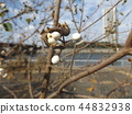 chinese tallow tree, species, fruit 44832938
