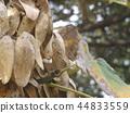 chinese parasol-tree, deciduous, ashen 44833559