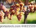 Vineyards at sunset in autumn harvest 44835509