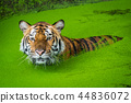 Bengal tiger in the water 44836072