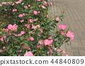 秋天的玫瑰 44840809