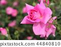 秋天的玫瑰 44840810