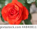 秋天的玫瑰 44840811