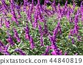紫水晶鼠尾草花 44840819