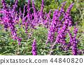 紫水晶鼠尾草花 44840820