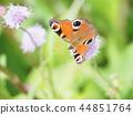 butterfly, peacock, european 44851764