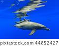보닌부루 바다 수영 남방 큰 돌고래의 부모와 자식 44852427