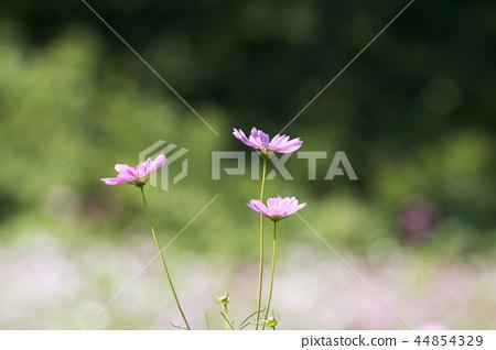 가을,코스모스,꽃 44854329