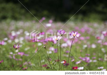 가을,코스모스,꽃 44854330