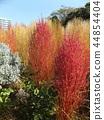 bassia scoparia, burningbush, kochia 44854404